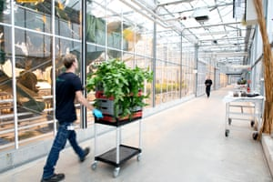 Inside the banana greenhouse at Wageningen University