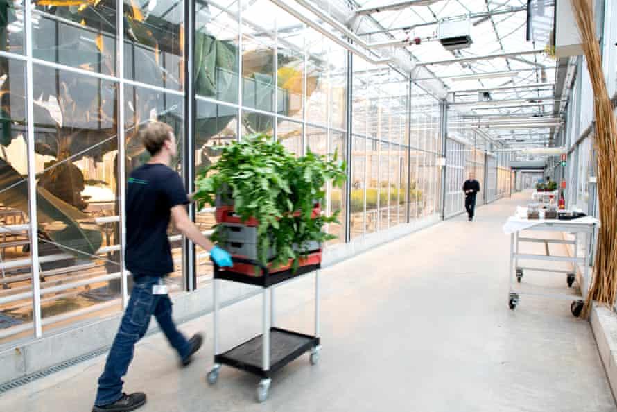 Inside the banana greenhouse at Wageningen University