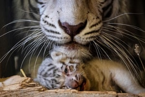 A White Bengal tiger cub with its mother Burani at the White Zoo in Kernhof, Austria. Burani gave birth to three male cubs - Hector, Pascha and Zeus - last month