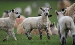 Some lambs in a field.