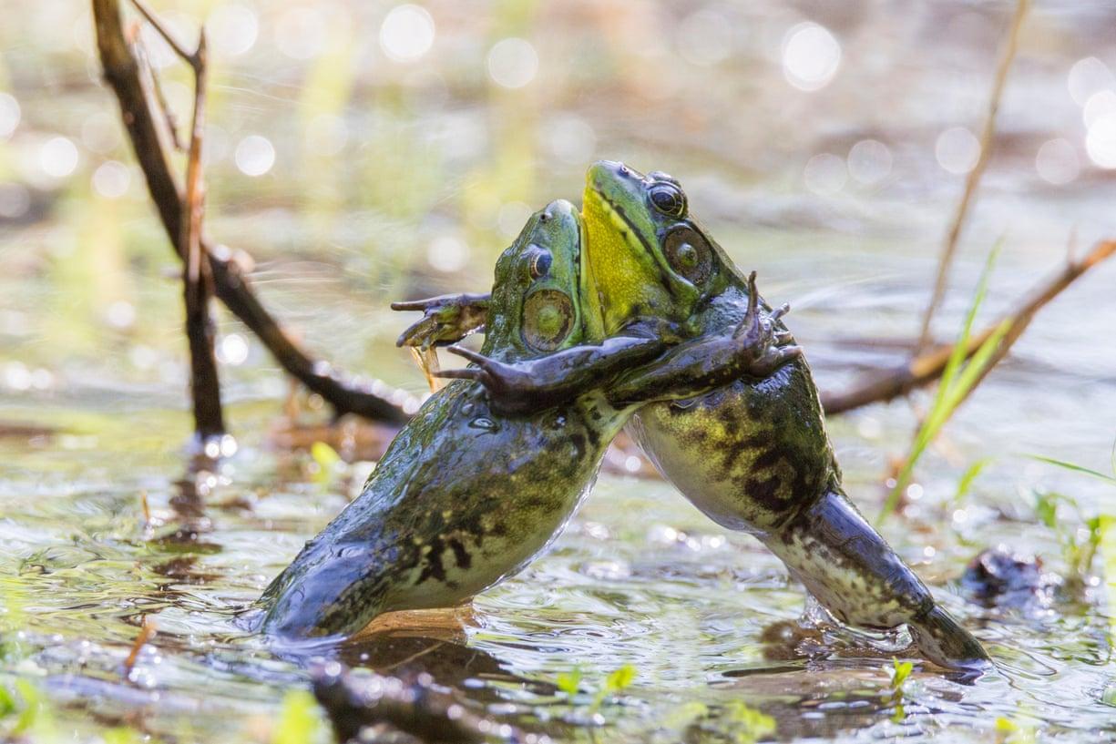 Zieloni sumotori (fot. Mircea Costina)
