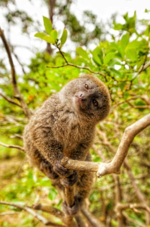 The Eastern lesser bamboo lemur tilts its head for the camera, Madagascar