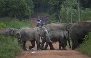 A herd of wild elephants cross a dirt road in Pana, Chanthaburi, Thailand