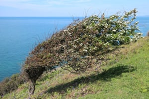 A hawthorn tree shaped by the wind near Aberaeron.