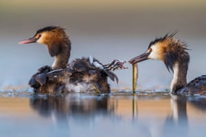 Winner - Behaviour, Birds: Great crested sunrise by Jose Luis Ruiz Jimenez, Spain. After several hours up to his chest in water in a lagoon near Brozas, in the west of Spain, Jose Luis captured this intimate moment of a great crested grebe family. His camera floated on a U-shaped platform beneath the small camouflaged tent that also hid his head.
