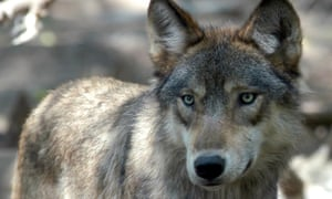 Gray wolves are threatened by budget riders that would remove protections.