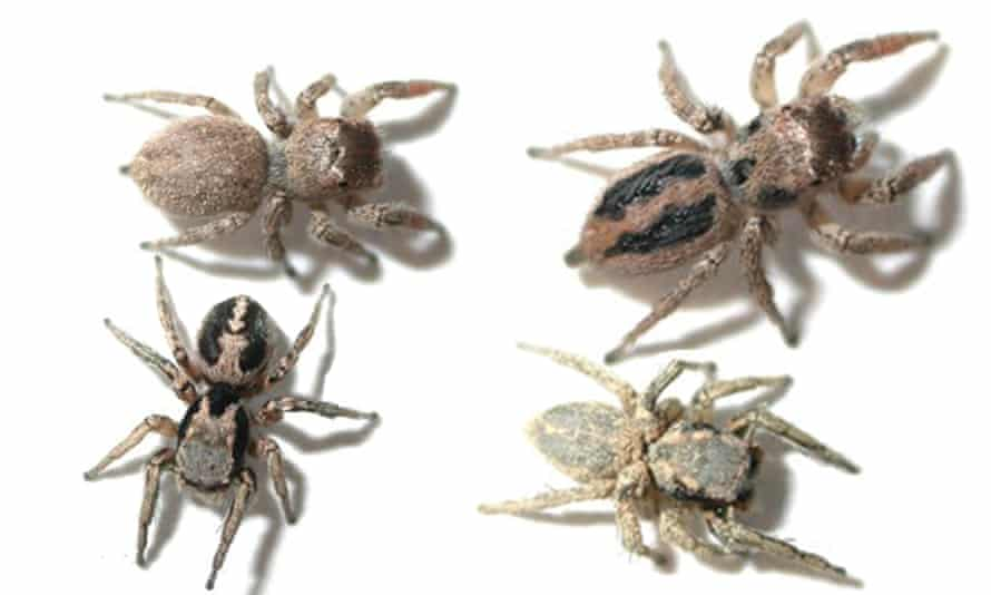 Clockwise from top left: naturally coloured female jumping spider; female painted like a male; male painted like a female; naturally coloured male.