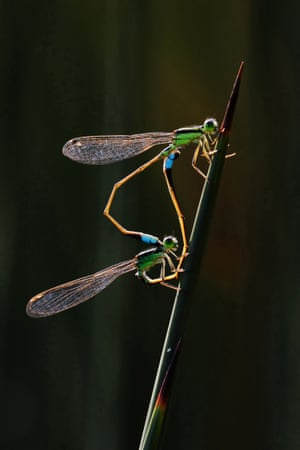 Damselflies - Gardens by the Bay, Singapore: gold prize in behaviour - invertebrates