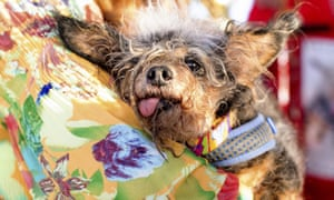 Scamp the Tramp rests after winning the World's Ugliest Dog Contest