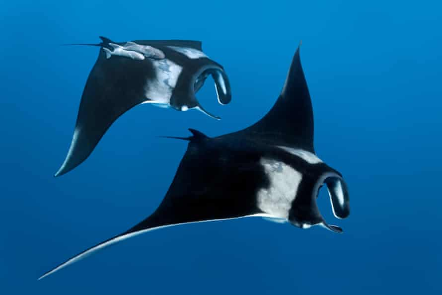 Two Reef manta rays off the coast of the Cocos Islands