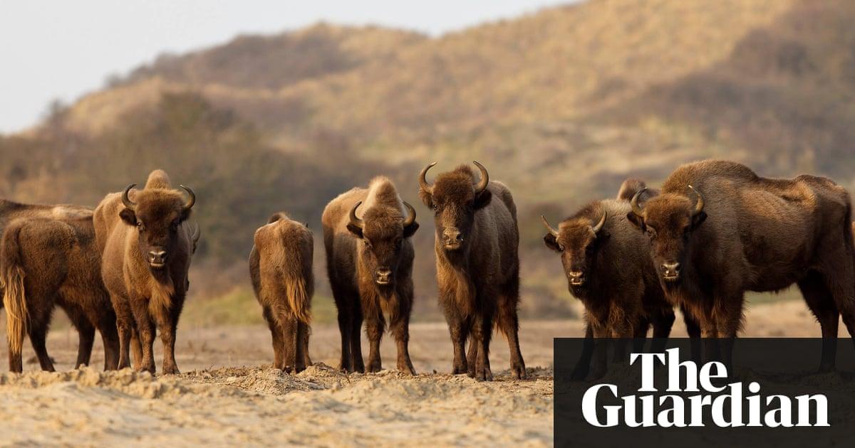 Return of the bison: herd makes surprising comeback on Dutch coast