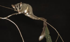 The upgraded protection for the Leadbeater's possum in recent years has created chaos for the timber industry.