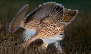 Spotted handfish in the Derwent River estuary, Hobart, Tasmania Australia