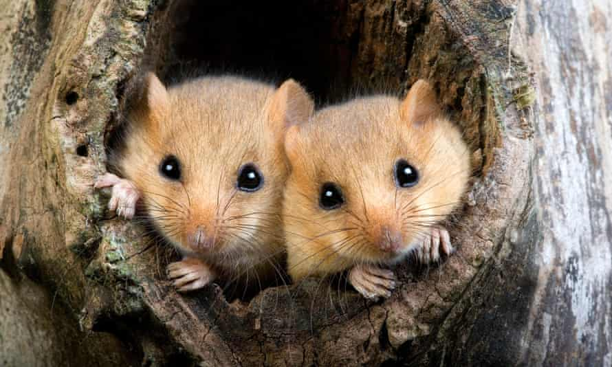 The rewilding project aims to provide new habitats for dormice and other species.