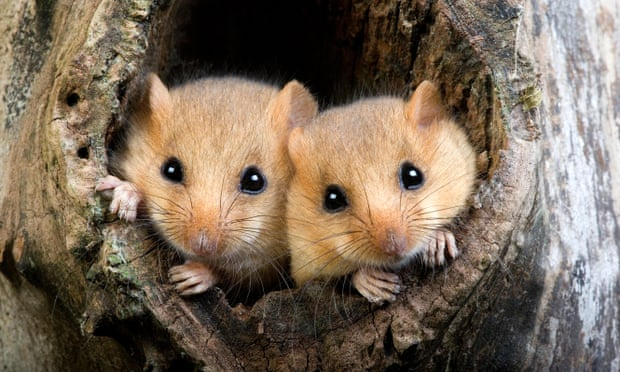The rewilding project aims to provide new habitats for dormice and other species. Photograph: Imagebroker/Alamy