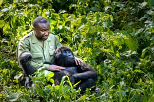 Image by Marcus Westberg @lifethroughalensphotography. 'At Senkwekwe, the world's only mountain gorilla sanctuary, Papa Andre Bauma plays and cuddles with 10-year old Ndakasi. Ndakasi was orphaned when she was two months old, and she spent most of that traumatic night inside Bauma's shirt, pressed tightly against his chest. Their bond remains incredibly strong, and although Bauma is father - or rather mother - to the sanctuary's other mountain gorillas too, his relationship with Ndakasi is unique.'