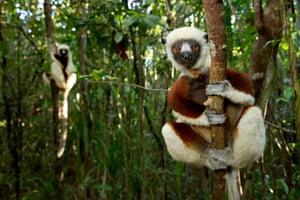 Coquerel's sifakas (Propithecus coquereli) in coastal rainforest in the Palmarium nature reserve in Madagascar