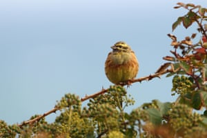 A cirl bunting in Devon, England. The endangered British farmland bird has bounced back from the brink of extinction