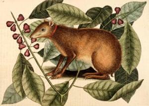The Duke Of Richmond's Java hare.
