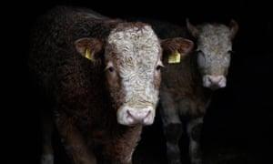 Cattle in Lifford, Ireland.