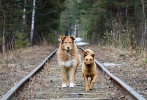 Krasnoyarsk, RussiaTwo stray dogs walk along a railway line located in the Siberian Taiga forest.