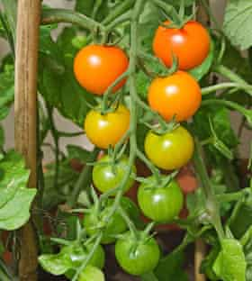 Truss of Sungold tomatoes ripening on the vine in summer sunshine in English domestic garden