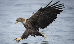A white-tailed sea eagle comes down to catch a fish.