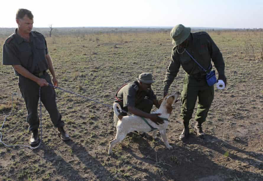Tracker hounds in Kruger national park