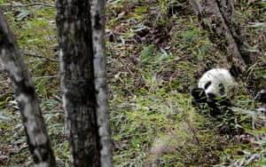 A wild giant panda near the Yueba Township, Shaanxi Province, China. This update of the global red list bring some good news. Previously listed as endangered, The Giant Panda is now listed as vulnerable, as its population has grown due to effective forest protection and reforestation.