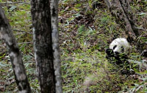 After their discovery in 1869, giant pandas (Ailuropoda melanoleuca) suffered from heavy poaching and habitat loss. A number of wide-scale conservation efforts have been implemented to help protect the panda and the bamboo, which constitutes its principal source of food. Panda numbers have increased and the species moved from endangered to vulnerable.