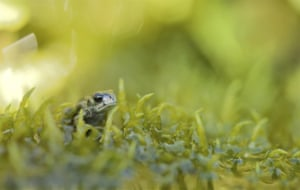 Natterjack toads are now found almost exclusively in coastal dunes. Multiple pressures, including a reduction in grazing leading to unsuitable vegetation, have led to a marked decline