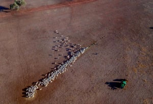 New South Wales, Australia: Cattle on a dry paddock in the drought-hit area of Quirindi