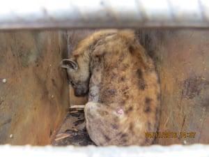 在津巴布韦哈拉雷机场的一批货物中发现的一种鬣狗。