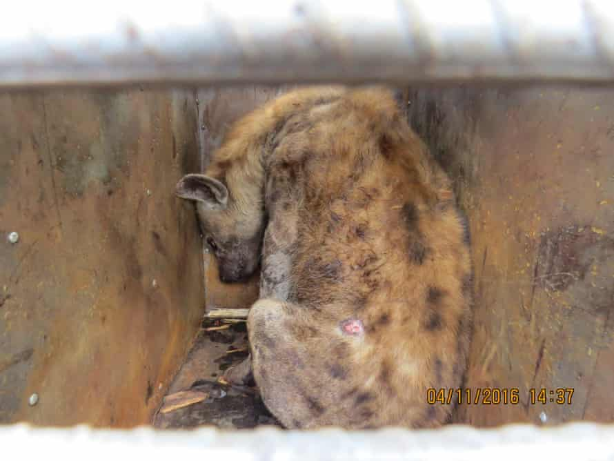 One of the hyenas found in a consignment at Harare airport in Zimbabwe.