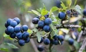 Sloe berries.