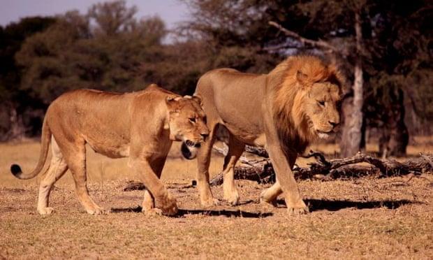 Xanda, son of Cecil, in the Hwange National Park, Zimbabwe.