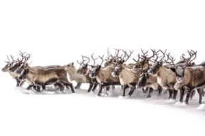 "Migrating with the reindeer in the snow in northern Sweden. Comment from the photographer: Adam Cunningham-White. ""This shot eclipses the moment when we had to change direction with this group of around 300 migrating reindeer in northern Sweden. They can become confused very quickly, making this moment risky; they could run in different directions at the drop of a hat, making it very difficult to get them back into a group."""