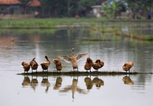 Ducks dry off while standing on some high ground in a pond, Bekasi, West Java province, East of Jakarta