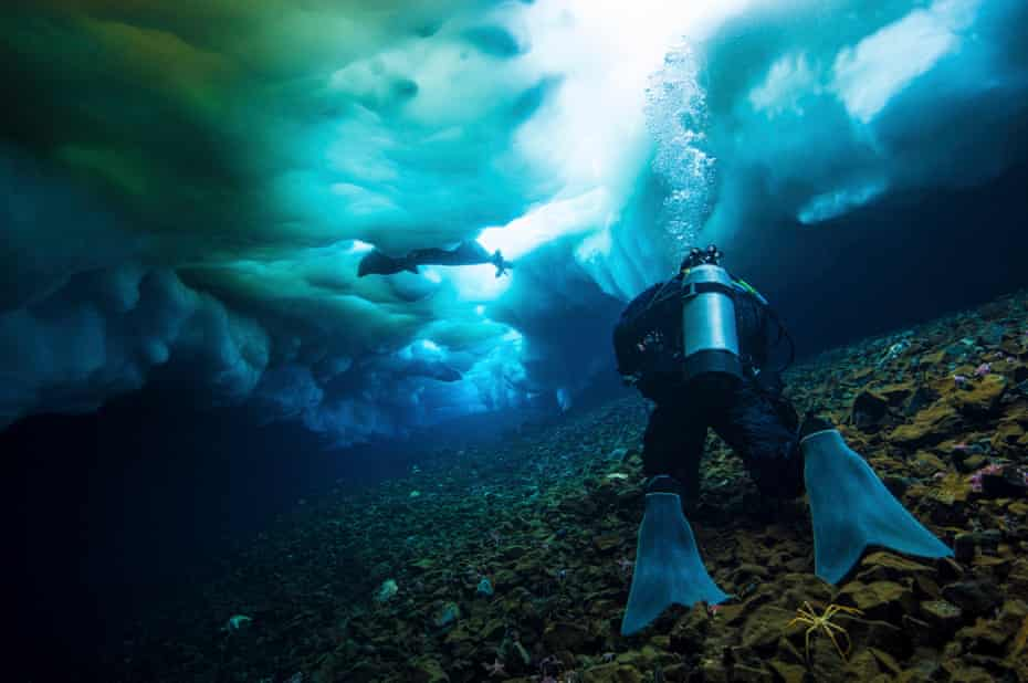 No safety ropes … a cameraman swims beneath the sea ice to film seals in Antarctica.