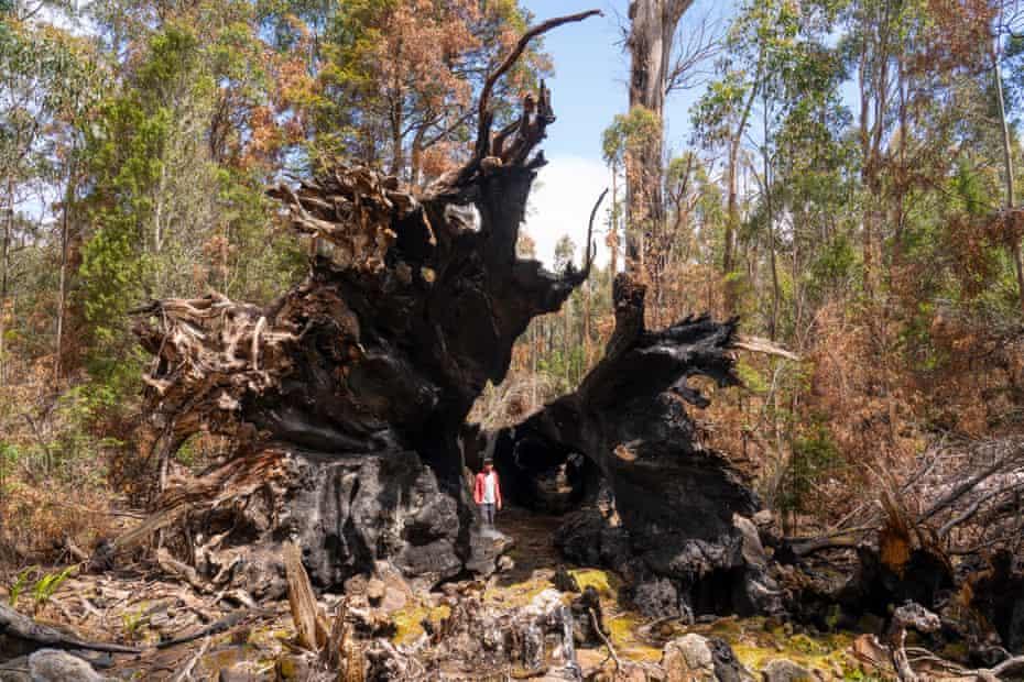 Steve Pearce in the upturned burnt base of a eucalyptus globulus in Tasmania.
