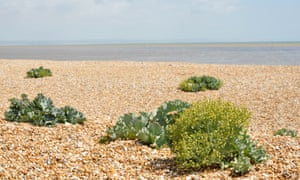 Sea kale on the pebbles at Sandwich Bay.