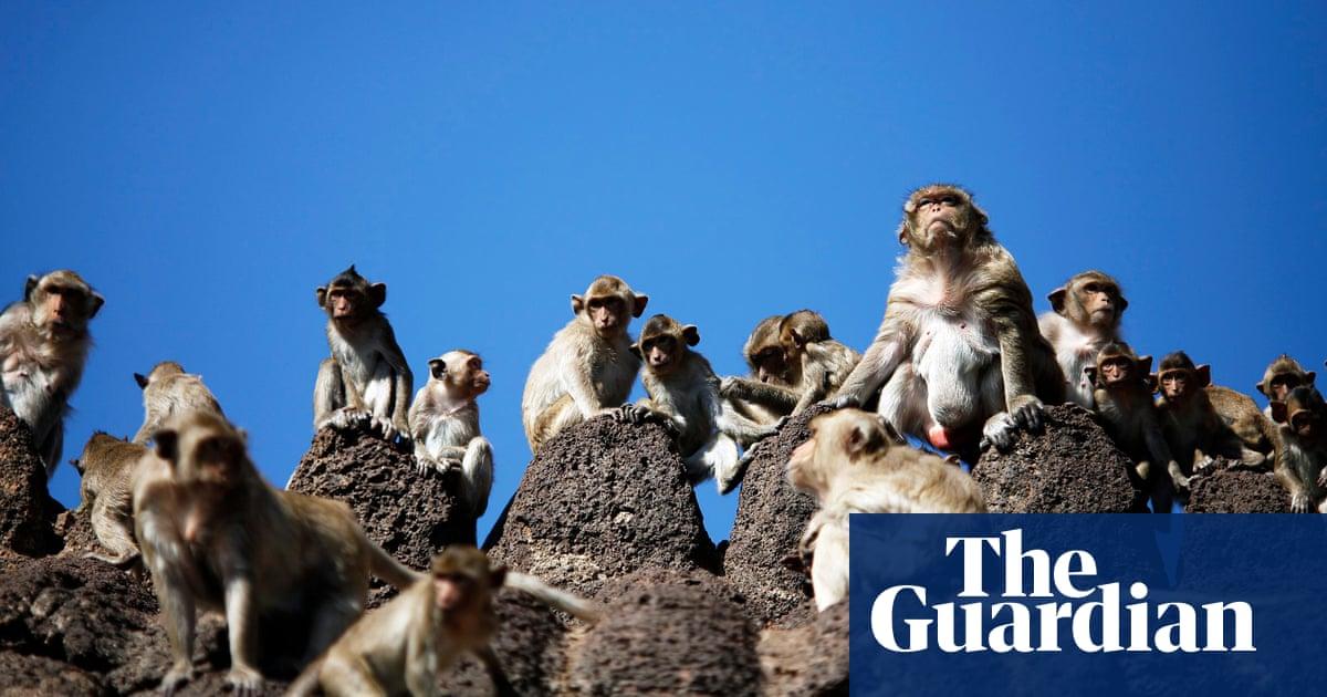 Monkey business   Mass monkey brawl highlights coronavirus effect on Thailand to