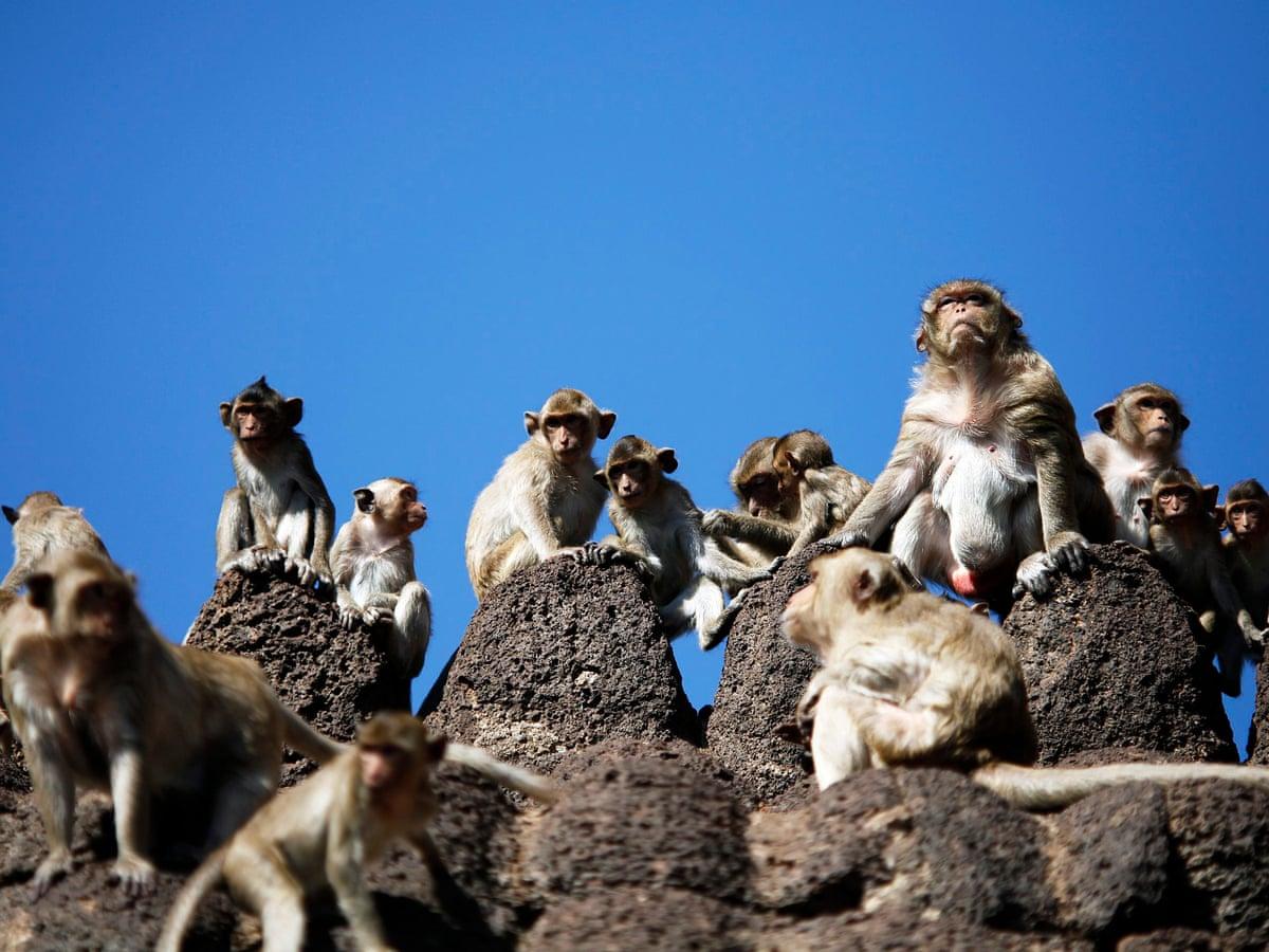 Mass monkey brawl highlights coronavirus effect on Thailand tourism    Thailand   The Guardian