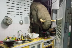 An elephant searches for food in the kitchen of Ratchadawan Puengprasoppon in Chalermkiatpattana village, Thailand. It's not the first time the elephant has come looking for food