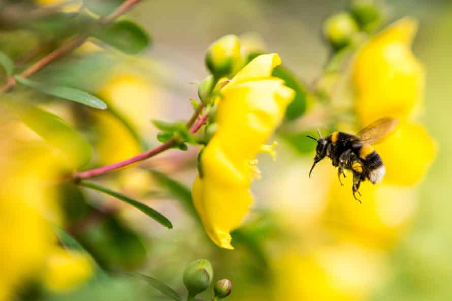 A bumblebee flying into a flower