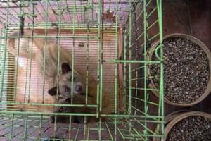 Captive civets