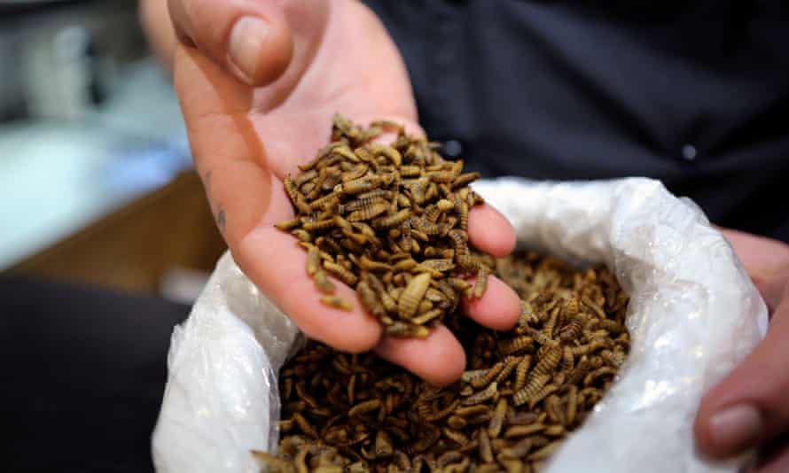 Black soldier fly larvae in someone's hand