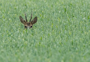 A deer stands in a grain field near Reitwein, Germany