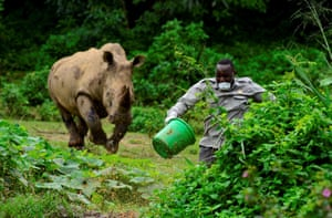 Steven Busulwa, an animal keeper, runs away from a charging rhino at the Uganda Wildlife Conservation Education Center amid the spread of the coronavirus disease