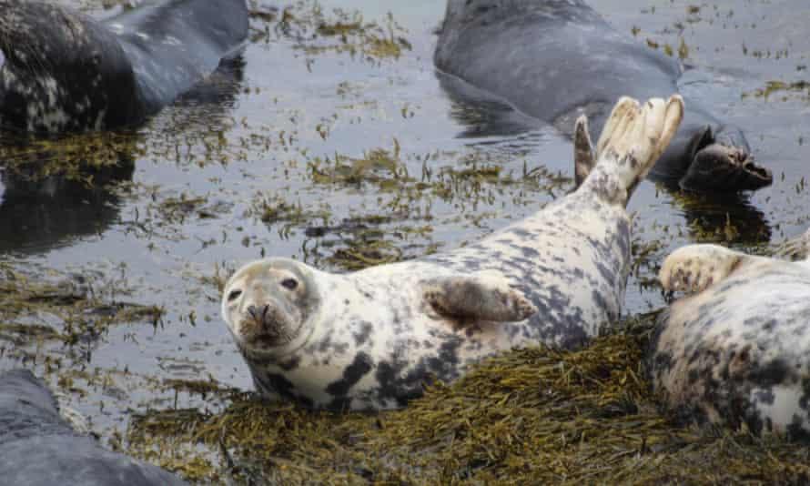 Grey seals on Bardsey Island, North Wales